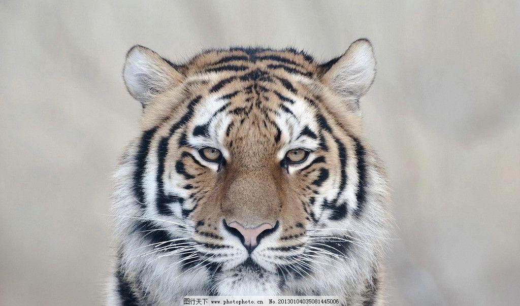 东北虎图片_野生动物_生物世界