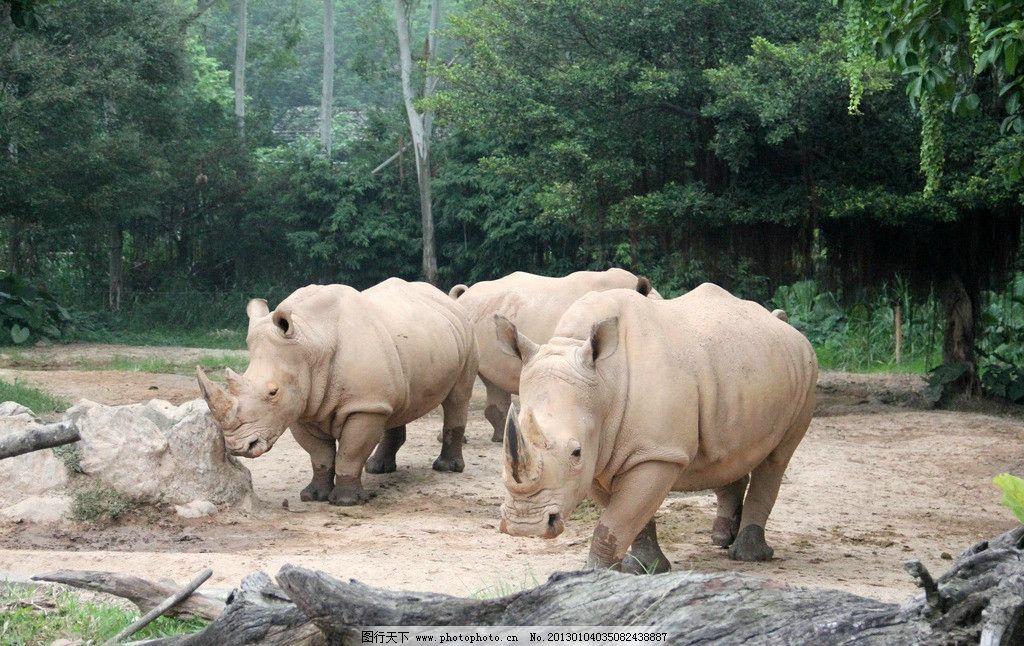 犀牛 丛林 深林 行走 犀牛群 野生动物 生物世界 摄影 72dpi jpg