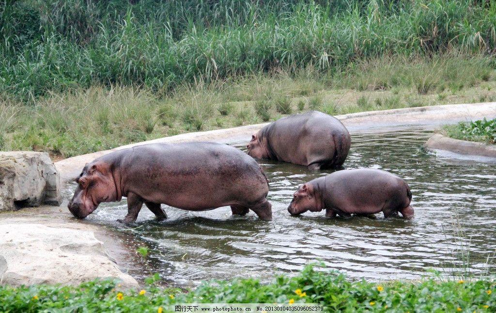 河马 动物 丛林 涉水 行走 摄影