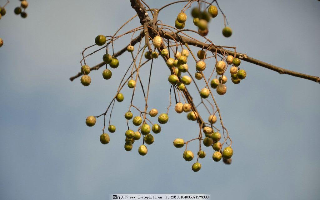 苦楝树果 树木 楝枣子 核果 短矩圆状 近球形 果皮 褐黄色 花草树木