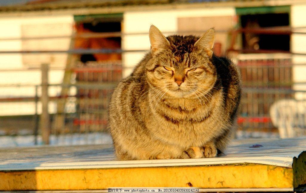 晒太阳 肥猫 猫咪 小猫 可爱 家禽家畜 生物世界 摄影 72dpi jpg