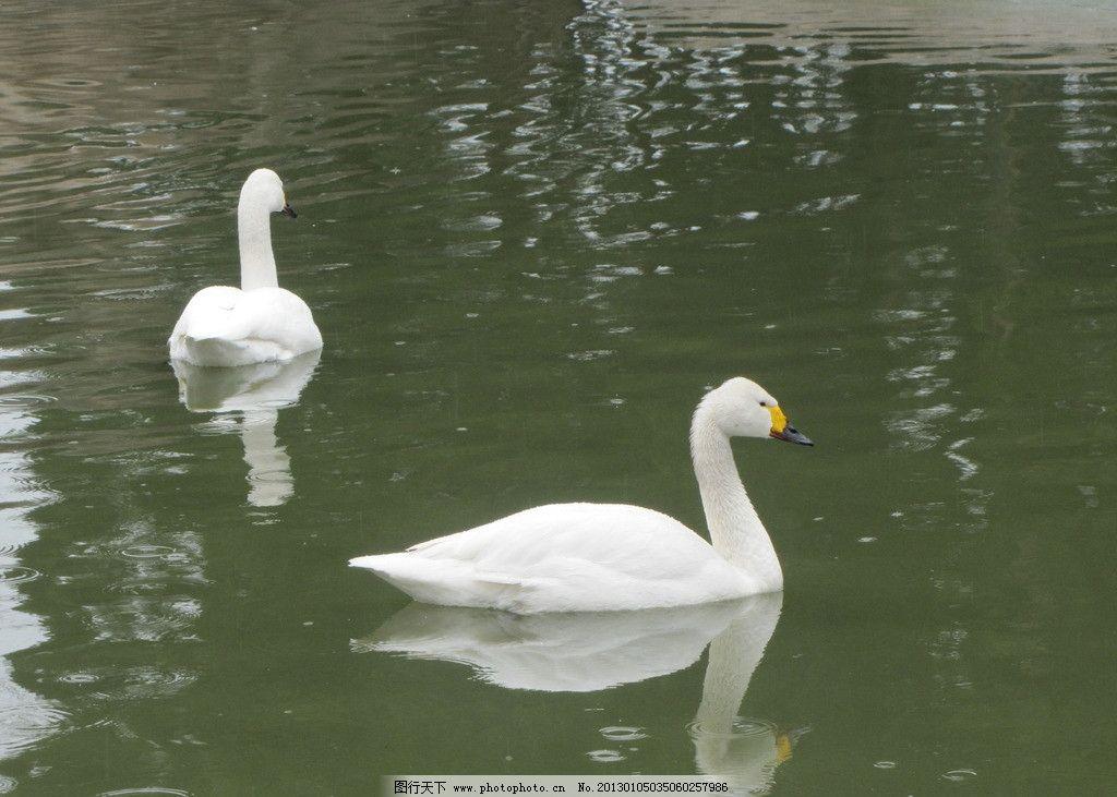 天鹅 白色 倒影 水面 野生动物 生物世界 摄影 180dpi jpg