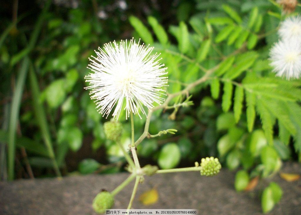 植物 花草 蕨类植物 蒲公英 白色花 花蕾 阳光明媚 壁纸 生物世界
