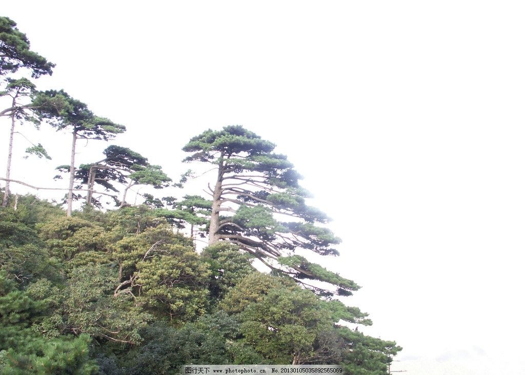 松树 迎客松 绿树 奇松 树 自然风景 树木树叶 生物世界 摄影 72dpi