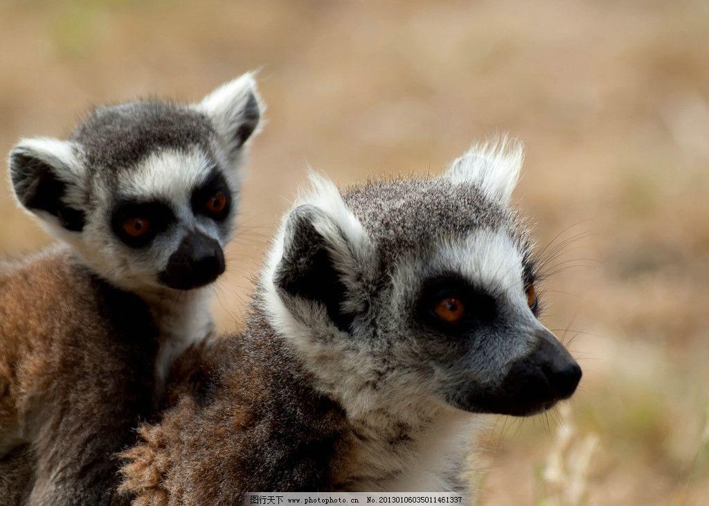狐猴 野生动物 灵长动物 灵长目 狐猴科 猴子 狐猴素材 狐猴图片 生物