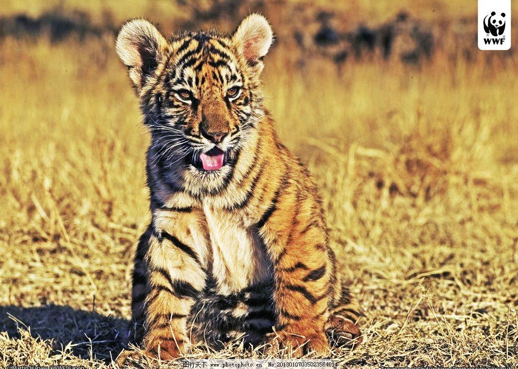 豹 豹子 壁纸 动物 虎 老虎 桌面 1024_731
