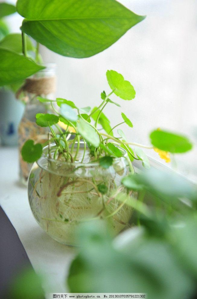 铜钱草 窗边植物 窗台 绿箩 清新 玻璃花器 水养植物 花草 生物世界