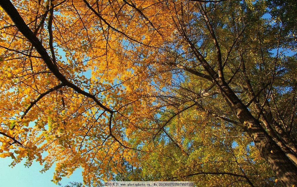 秋天美景 秋天 银杏 美景 树木树叶 生物世界 摄影 300dpi jpg