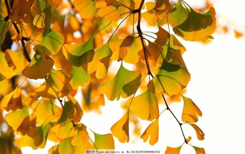 秋天的银杏树 树叶 美景 摄影