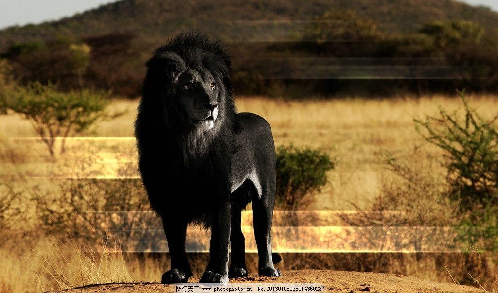 黑色狮子 黑狮 公獒 旅游摄影 国内旅游 非洲 沙漠 荒原 荒野 动物