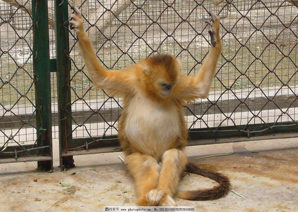 沉思 野生动物 金丝猴 猴妈妈 生物世界 摄影 72dpi jpg