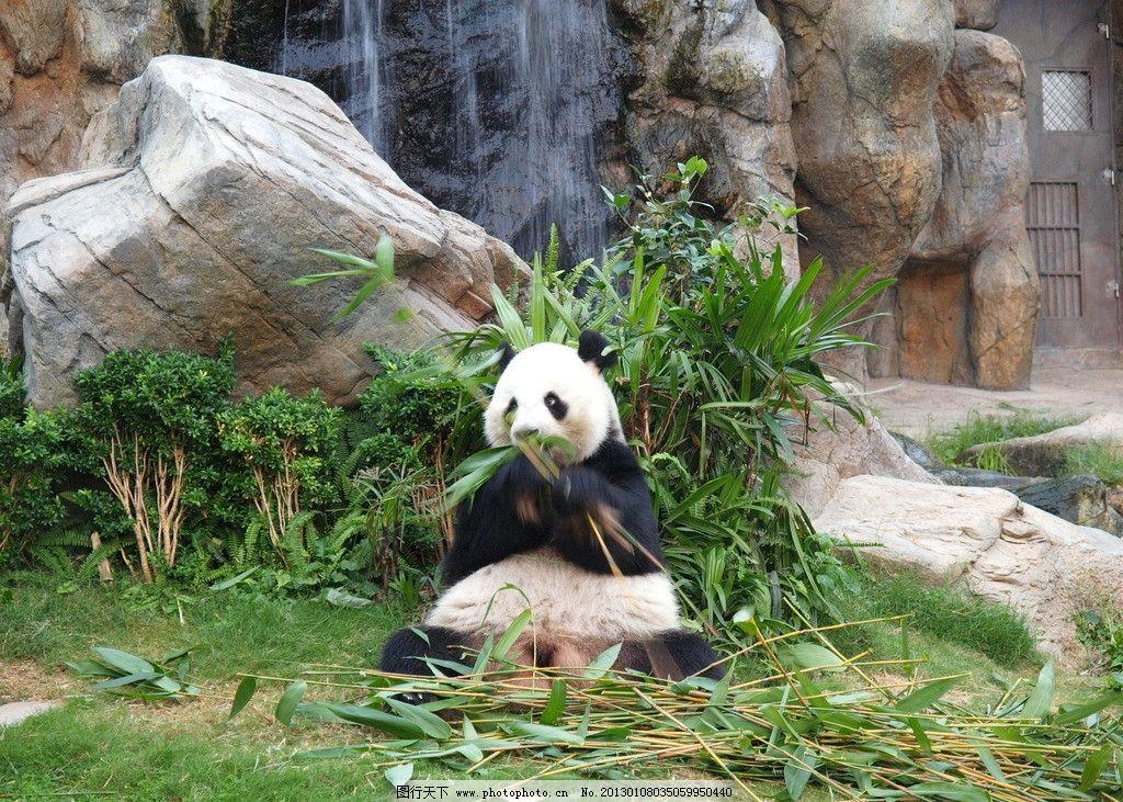 熊猫 香港海洋公园 香港熊猫 熊猫吃竹子 野生动物 生物世界 摄影 314