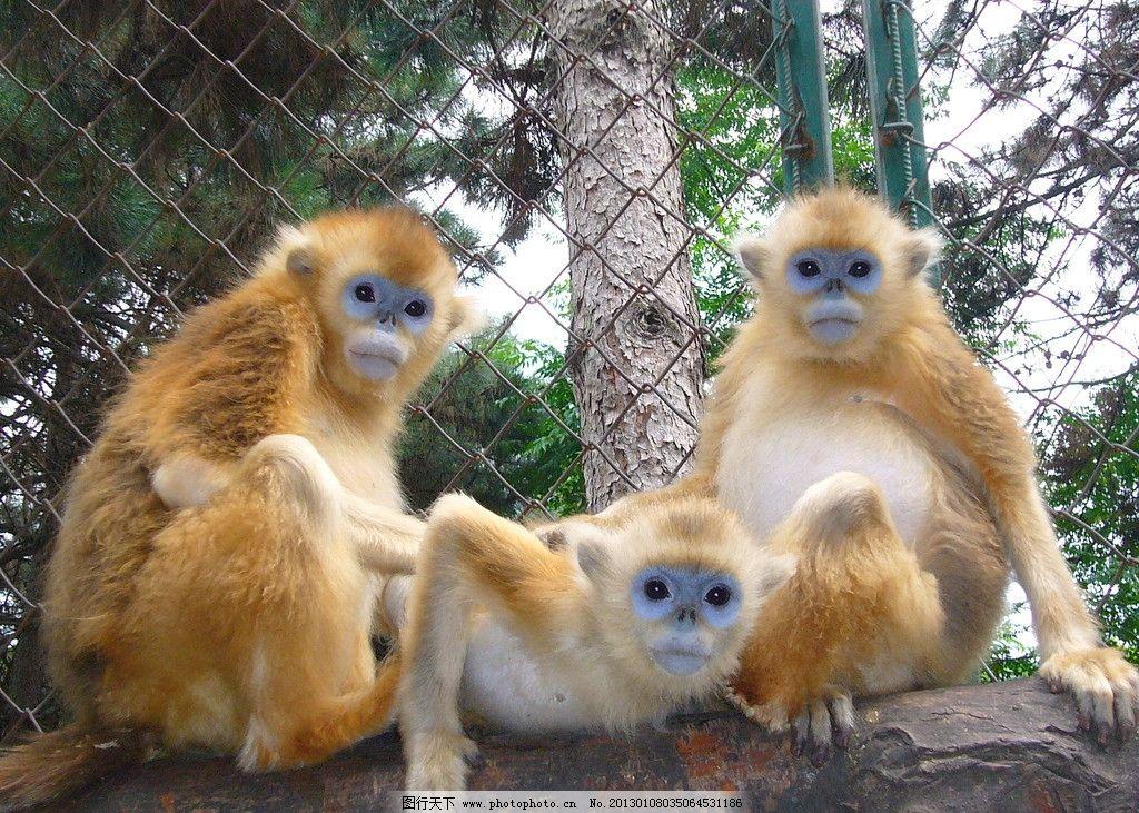 金丝猴 野生动物 温馨家庭 其乐融融 生物世界 摄影 72dpi jpg