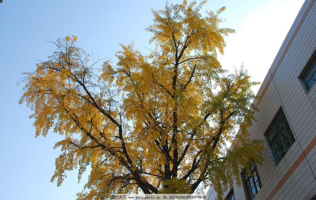 银杏树 银杏叶 秋叶 秋意 黄叶 树木树叶 生物世界 摄影 300dpi jpg