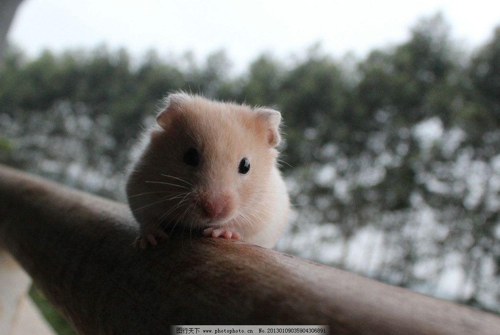 金丝熊仓鼠 金丝熊 仓鼠 可爱宠物 家禽家畜 生物世界 摄影 72dpi jpg