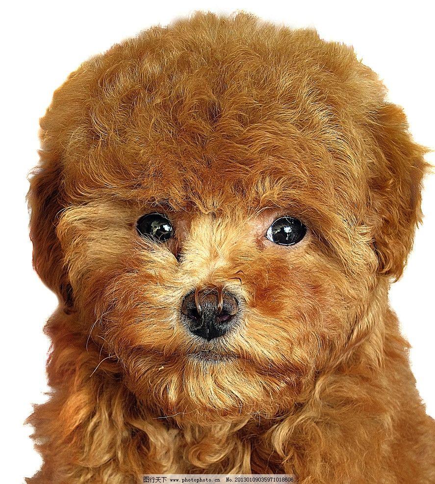 泰迪狗图片