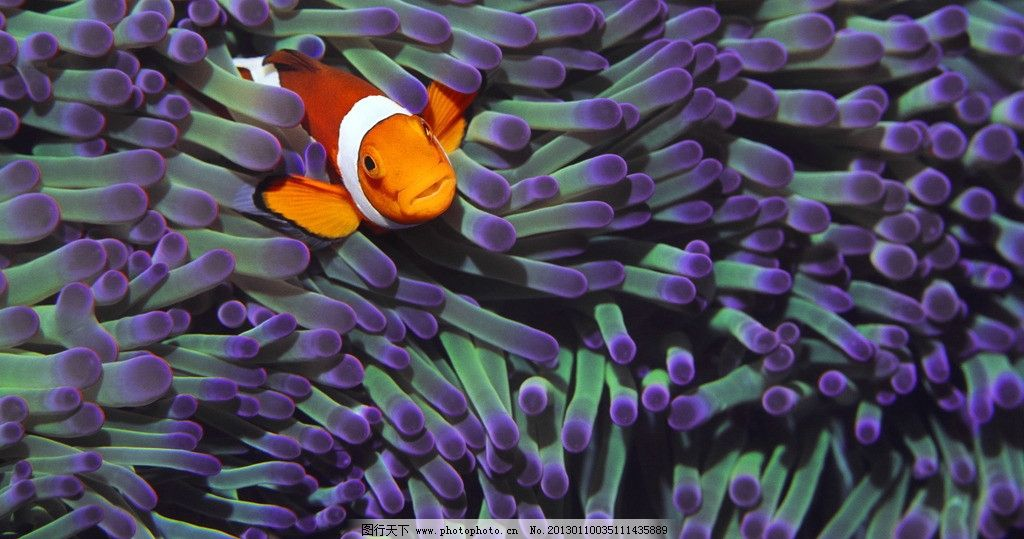 小丑鱼 海底 动物 生物 鱼类 热带鱼 海底总动员 可爱 橙色 海洋生物