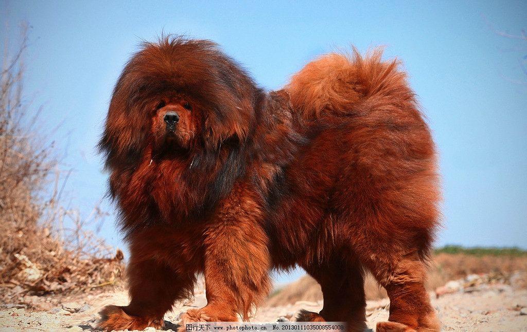 中华藏獒 藏獒 狗 动物 奢侈品 国宝 野生动物 生物世界 摄影 72dpi