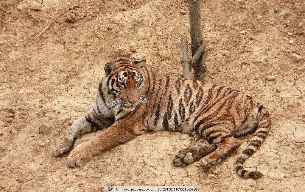 老虎 动物园 动物 游玩 儿童节 亲子 野生动物 生物世界 摄影 72dpi
