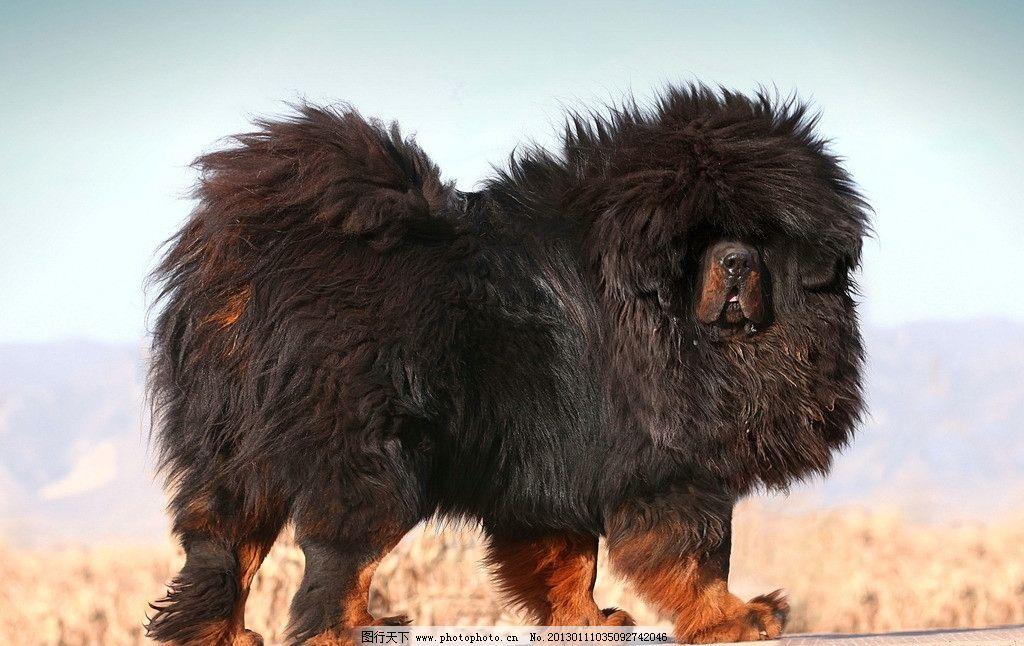中华藏獒 藏獒 动物 国宝 奢侈品 狗 凶猛 摄影 野生动物 生物世界 72