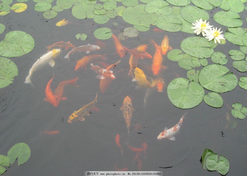 手绘锦鲤的画法彩铅