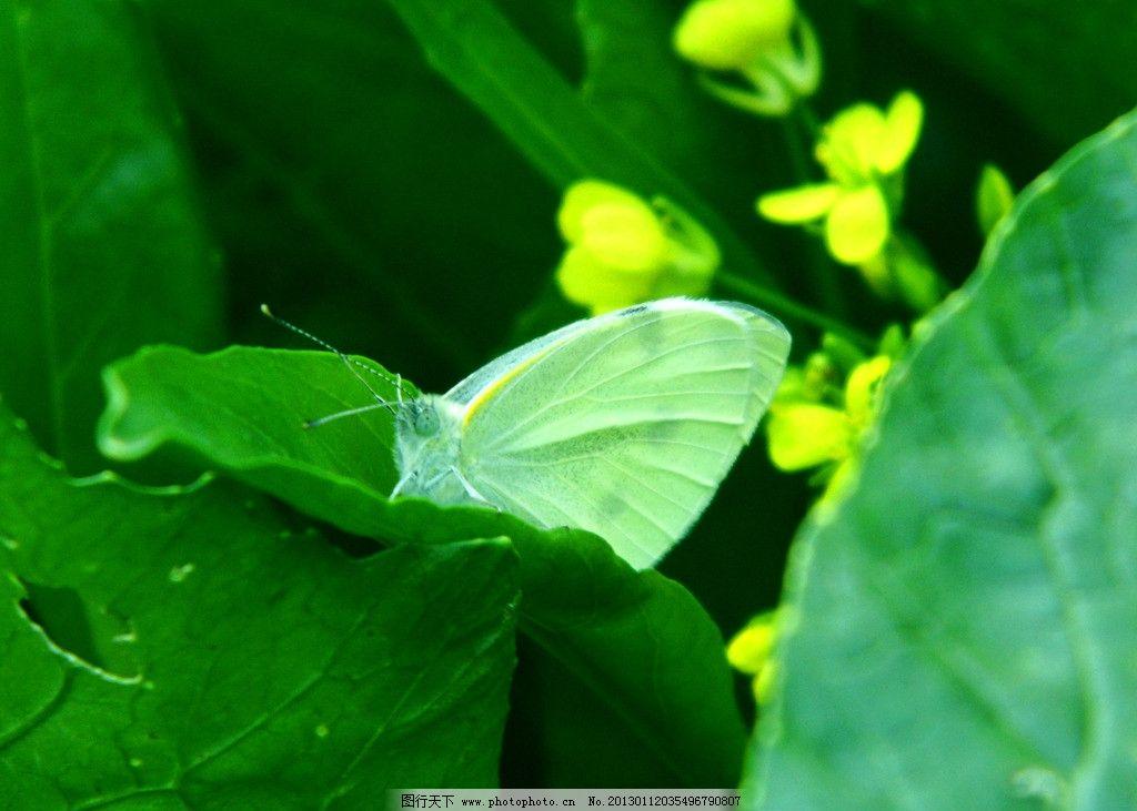 蝴蝶 动物摄影 生物世界 白色蝴蝶 绿色叶子 油菜花 黄色菜花 昆虫