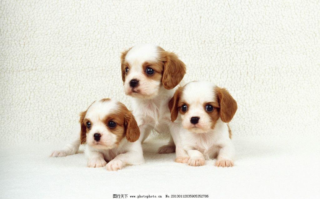 狗狗 小狗 可爱 趴着 三只 家禽家畜 生物世界 摄影 300dpi jpg