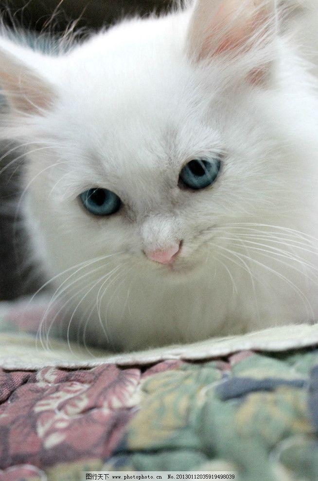 猫猫 蓝眼睛猫猫 大长毛 高贵 摄影