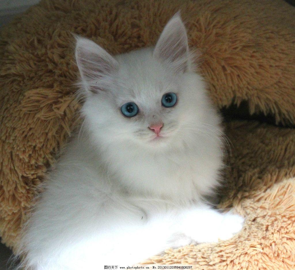 猫咪 蓝眼睛猫猫图片