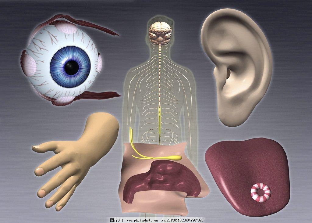 人体五官 人体器官 眼球 瞳孔 手耳脑 人体研究 医学器官