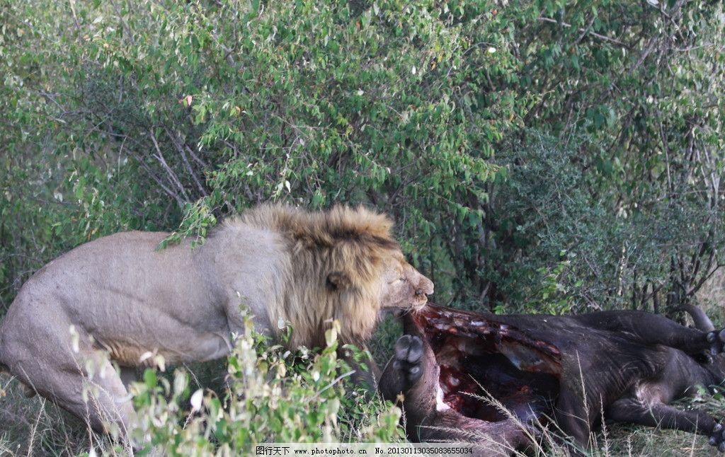 饕餮 狮子用餐 非洲 肯尼亚 马赛马拉 草原 野生动物 实景拍摄 生物