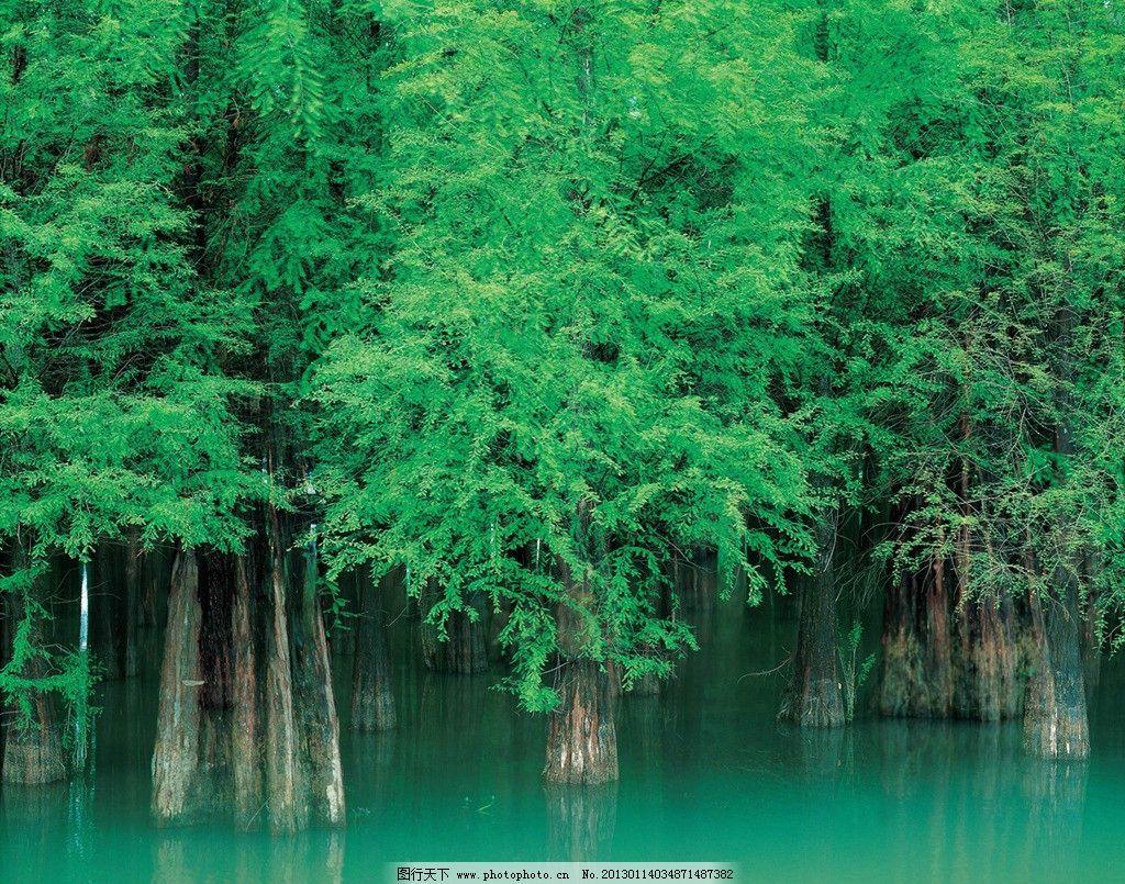 水杉 绿色风景图片