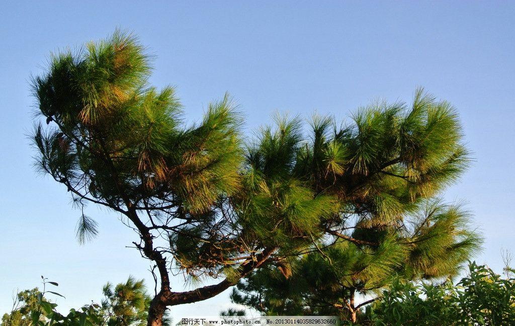 松树 天空 蓝天 树叶 树枝 树干 树木 绿色 绿色植物 树木树叶 生物