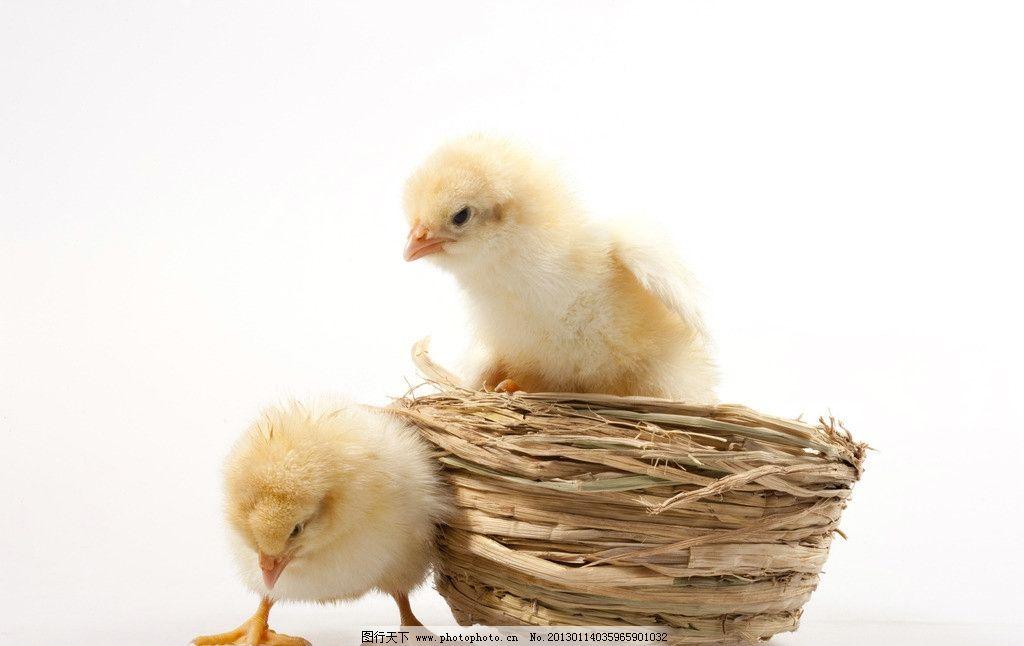 小鸡 黄色 家禽 蛋壳 破壳 两只 家禽家畜 生物世界 摄影 300dpi jpg
