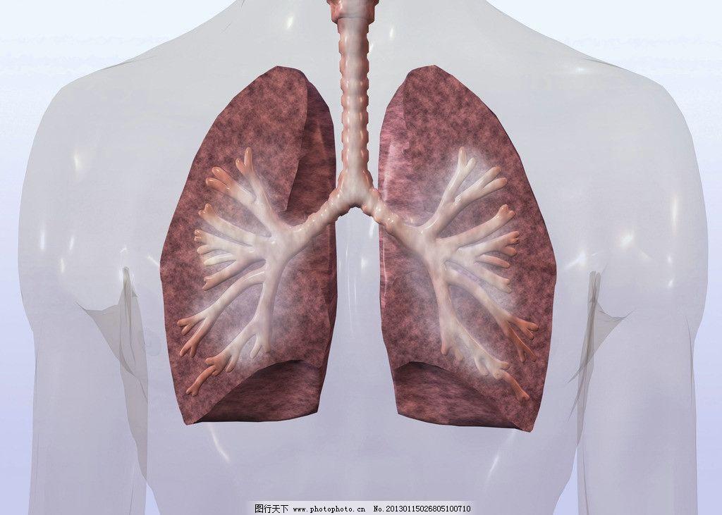 肺部 肺呼吸 心肺 肺部组织 肺部结构 内脏 气管 支气管 肺叶