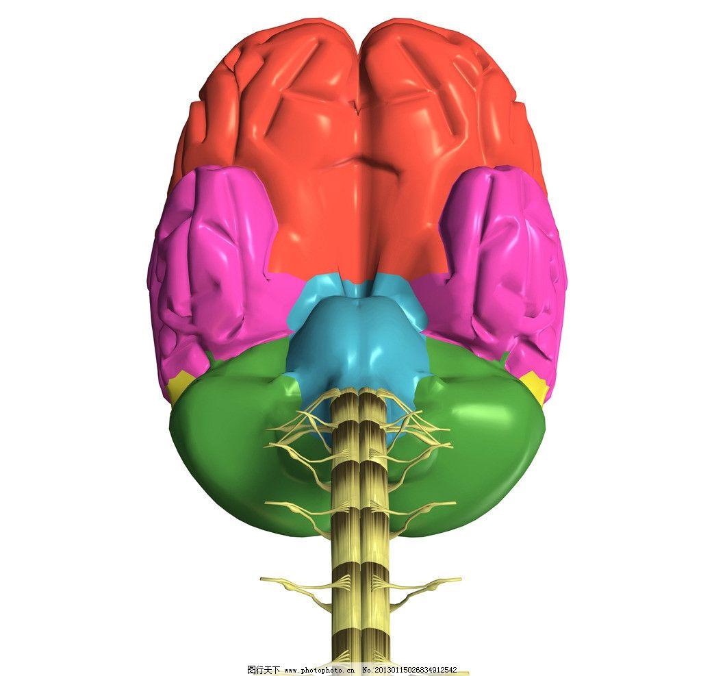 人脑结构图片
