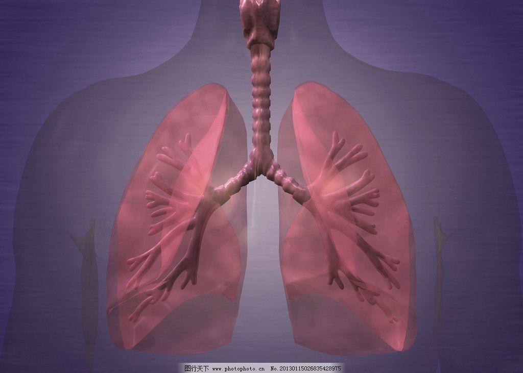 肺 肺呼吸 心肺 肺部组织 肺部结构 内脏 气管 支气管 肺叶 3d器官