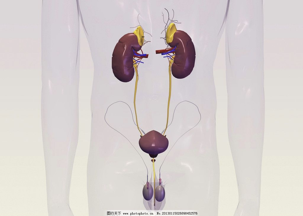 肾 肾脏 肾脏结构 肾动脉 泌尿系统 睾丸 男性肾脏 人体研究