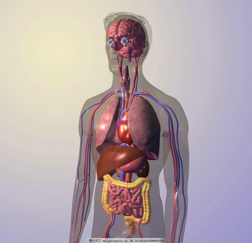 人体结构 人体器官 眼球 瞳孔 大脑 动脉 器官 大肠 小肠 肝脏 胃 3d