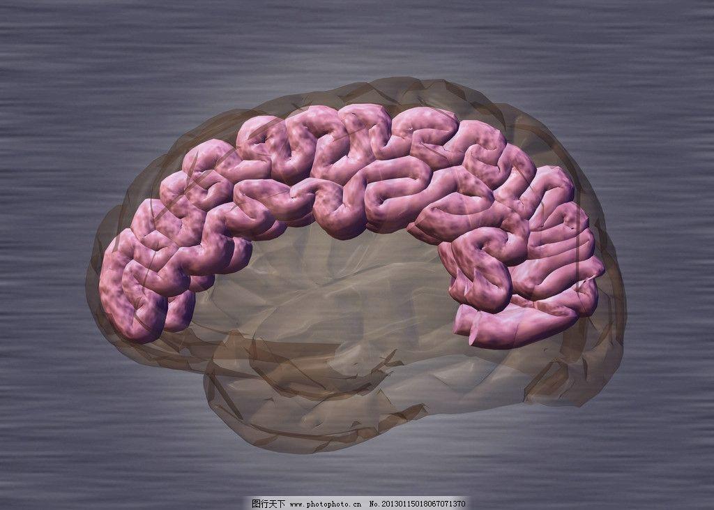 大脑结构 脑部解剖 小脑 左脑 右脑 脑部结构 脊柱 人体脊椎