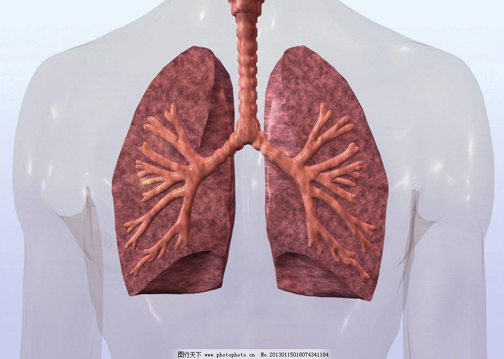 肺呼吸 心肺 肺部组织 肺部结构 内脏 气管 支气管 肺叶 3d器官 人体