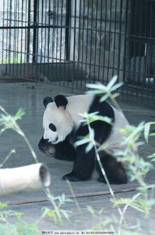 熊猫 大熊猫 国宝 野生 动物 野生动物 生物世界 摄影 350dpi jpg