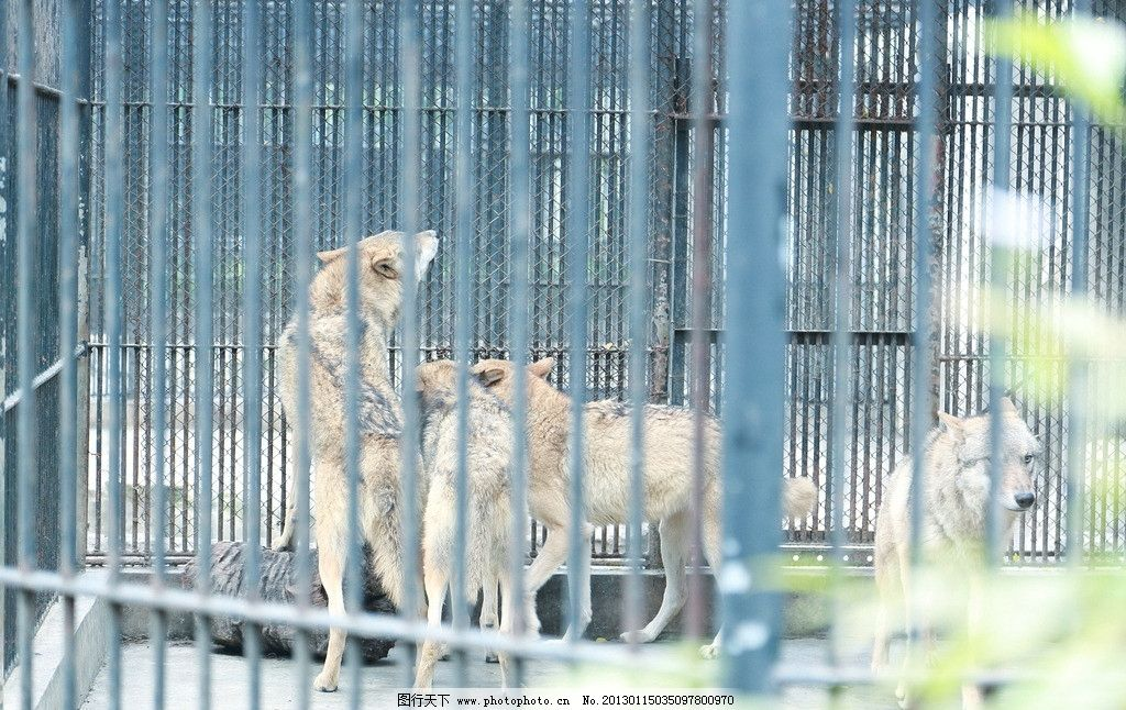 狼群 野生动物 动物 笼子里的狼 生物世界 摄影 350dpi jpg