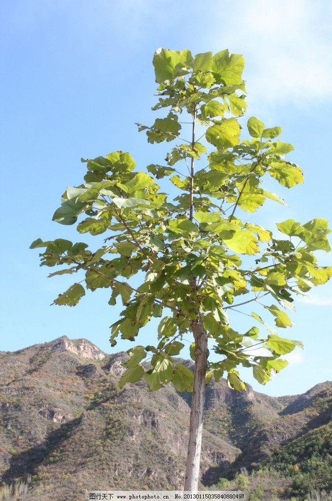 枫叶树 枫叶 小树 山峦 远处山 蓝天 白云 草 树木树叶 生物世界 摄影