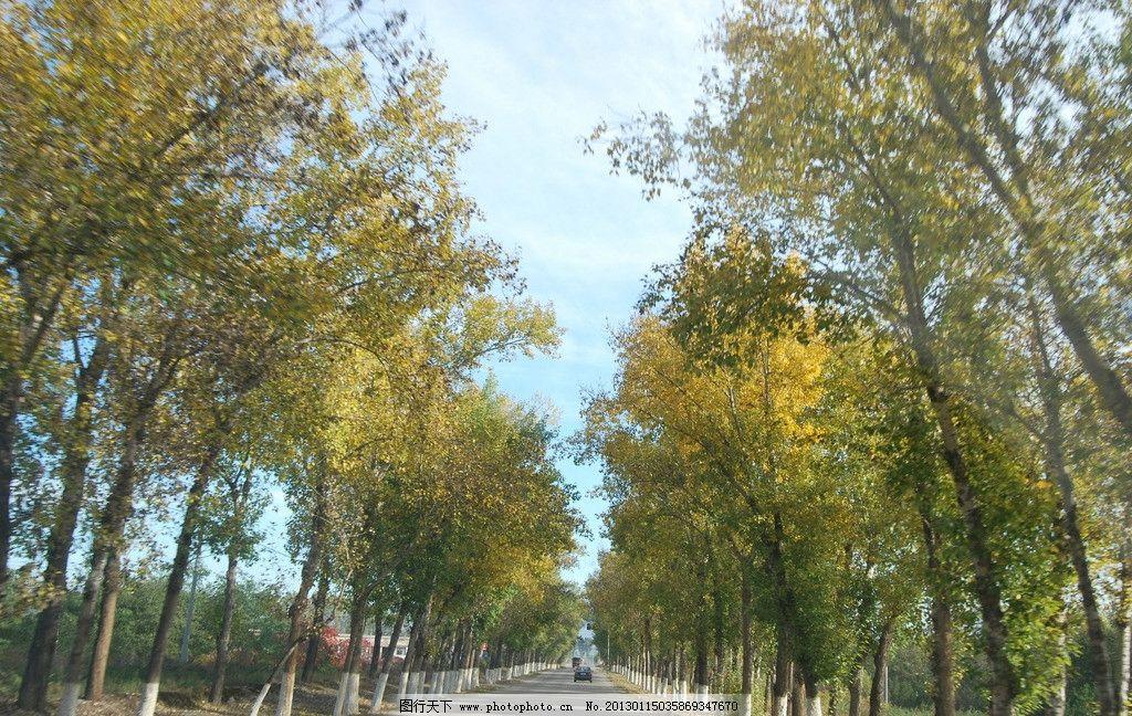 白杨树 马路 秋天 蓝天 白云 杨树 笔直马路 黄色白杨树 汽车 树木