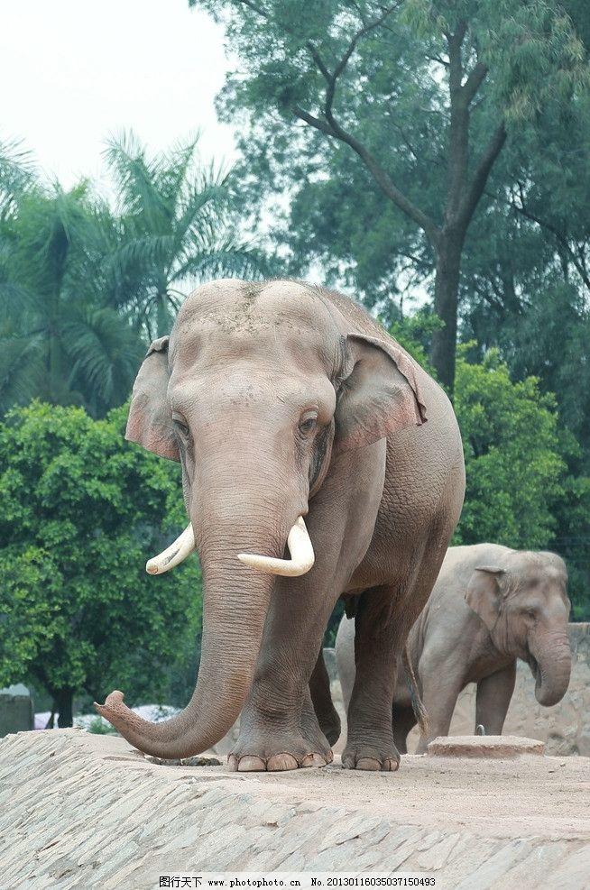 大象 动物 野生动物 丛林 生物世界 摄影 350dpi jpg