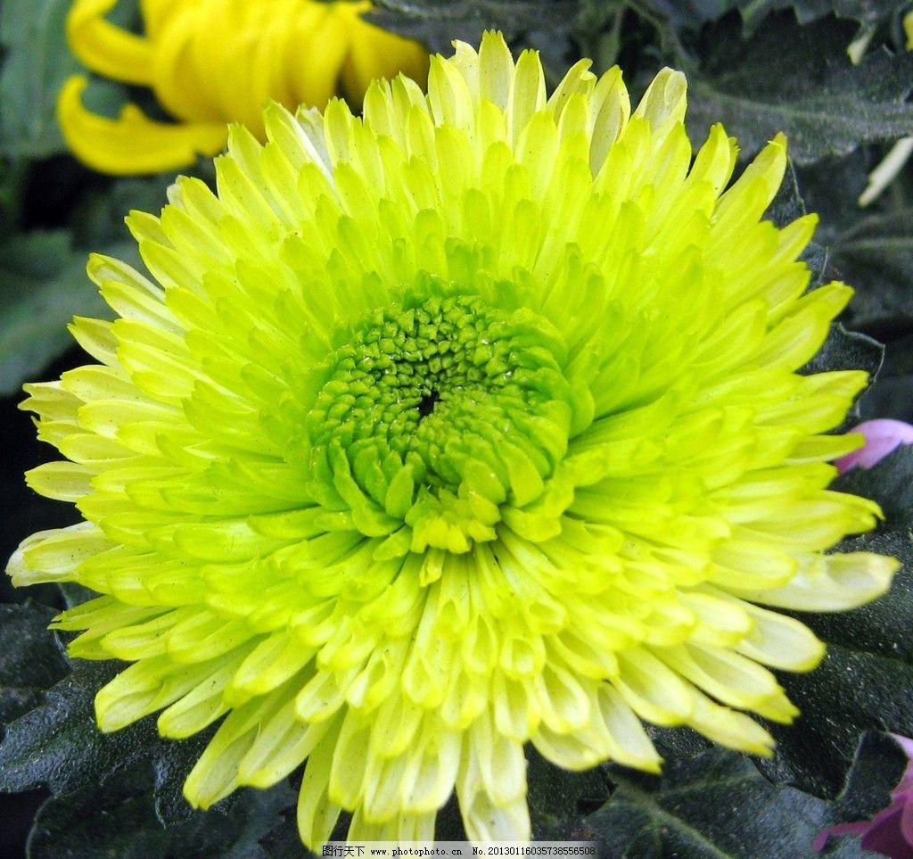 菊花茶有哪些品种_绿色的菊花叫什么名字 _排行榜大全