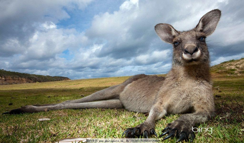 袋鼠 野生 非洲 动物 摄影