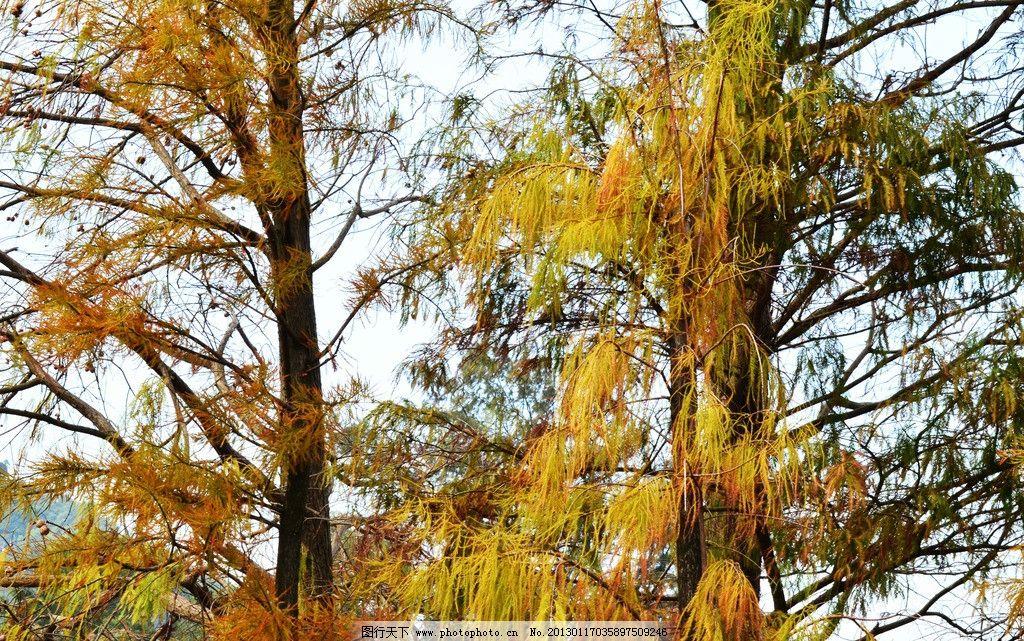 松树 天空 蓝天 树叶 树枝 树干 树木 绿色 绿色植物 黄色 秋天 树木