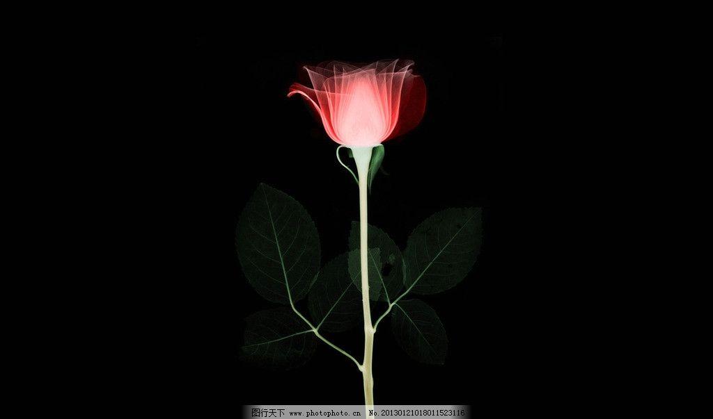 玫瑰花的x光透视 x光 透视 花 玫瑰花 创意图 医疗护理 现代科技 设计